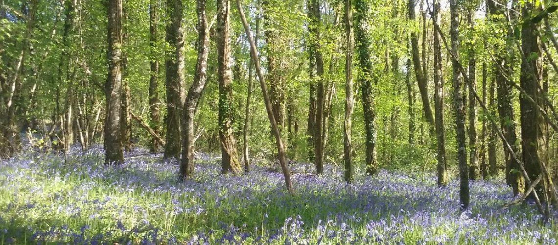 Floraison printanière dans les sous-bois du Limousin